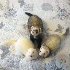 Weasel trifecta!