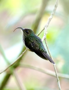 Phaethornithinae hummingbirds hummingbird: White Tipped Sicklebill