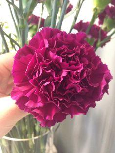 Mørk lilla nellik - Dianthus Rose, Flowers, Plants, Pink, Roses, Flora, Plant, Royal Icing Flowers, Flower