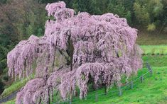 Tens of thousands of Japanese have made a pilgrimage to a 1,000-year old   cherry tree that has blossomed just 30 miles from the site of last month's   nuclear disaster.