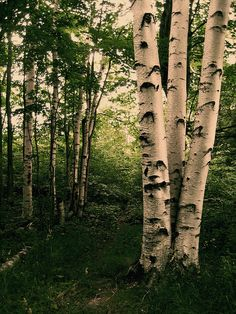 giant birch trees of North Manitou Island, Sleeping Bear Dunes National Lakeshore Park, Michigan.  Photo: cedarkayak for Asher Durand via Flickr