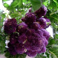 Purple Sprouting Broccoli: Though this extremely cold hardy Purple Sprouting broccoli was bred in England, the plant from which modern broccoli is derived first grew in the wild in the Mediterranean r
