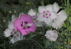 Sulkaneilikka, Dianthus plumarius, Fjädernejlika