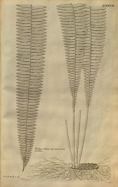 Botanist, Charles Plumier (1646-1704)
