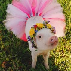 Rescue Pigs Get Flower Crowns To Make Them More Adoptable