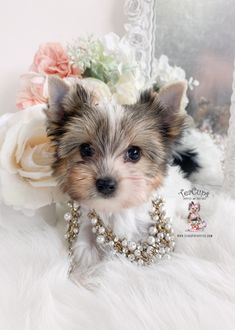 parti-yorkie-226-a Micro Teacup Yorkie, Teacup Yorkie For Sale, Yorkie Puppy For Sale, Toy Yorkie, Biewer Yorkie, Wire Fox Terrier Puppies, Toy Puppies, Toy Yorkshire Terrier, Puppy Store