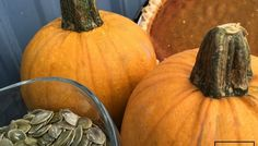 """Pumpkin Naked Bear F1 Naked Bear is a cute little pie pumpkin that is slightly flattened in shape and measures 5-6"""" wide. After using the fruit to display next fall, cut open the fruit and scoop out its seeds, which are completely hull-less."""