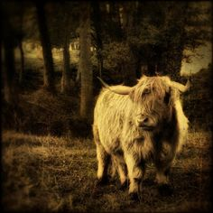 """""""Highland Cow"""" by Gilles Peroud at the Mobile Art Photography exhibit at ArtHaus"""