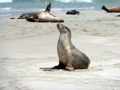 Australia - Kangaroo Island - Seal Bay - Australian Sea-Lions