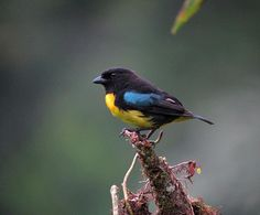 Black-and-gold Tanager (Bangsia melanochlamys) Side view perched atop a dead tree