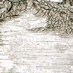 photos d'écorce bouleau #14