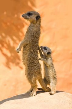 animals, two meercats from positivity toolbox