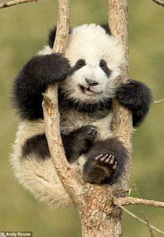 This climbing lark is not as easy as it looks! Panda cubs get to grips with the… Funny Wild Animals, Cute Baby Animals, Animals And Pets, Amazing Animals, Animals Beautiful, Panda Tree, Panda Lindo, Baby Panda Bears, Baby Pandas