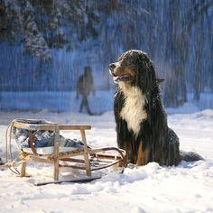 L'hiver ... pour certains, c'est juste du bonheur !  Winter ... pure delight for some of us !