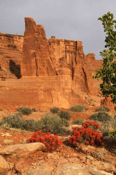 Morning light on Indian Paint Brushes at the foot of sandstone formations in Arches National Park, Utah