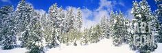 Pine Trees on a Snow Covered Hill, Breckenridge, Summit County, Colorado, USA Photographic Print by Panoramic Images at Art.com