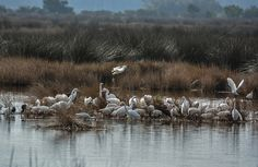 Breakfast! This feeding aggregation includes Great Egrets, Snowy Egrets, White Ibis and Glossy Ibis. Near Bear Island, Ace Basin, South Carolina