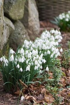 Winterbloeier-Lots of snowdrops