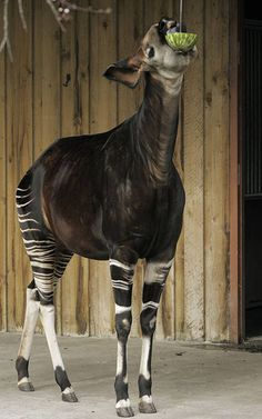 Chester Zoo Okapi enrichment