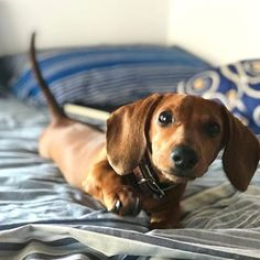 """Visit our web site for even more relevant information on """"dachshund pups"""". It is actually an exceptional place to find out more. Funny Dachshund, Dachshund Puppies, Dachshund Love, Cute Puppies, Cute Dogs, Dogs And Puppies, Dachshunds, Yorkie Dogs, Weenie Dogs"""