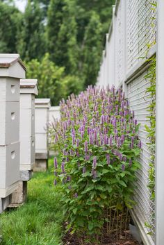 Behind the bee hives is anise hyssop, whose soft, anise-scented leaves are used as a seasoning, as a tea, and in potpourri.  Bees love the purple flower spike and they make a light fragrant honey from the nectar.