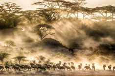 The Great Migration - The best time to see the wildebeest when on safari Tanzania National Parks, Serengeti National Park, The Great Migration, Tanzania Safari, Good Morning World, Natural Wonders, Great Photos, Cruise, Kenya