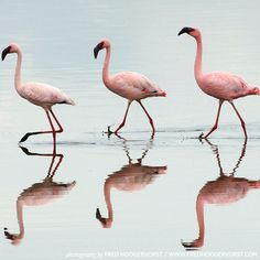 Kenya, Lake Nakuru N., three Lesser Flamingo's and their silhouettes inside the Ramsar wetland environment. Pink Dye, Pink Color, Pink Beach, African Animals, Love Pictures, Beautiful Moments, Wonders Of The World, My Best Friend, Sands