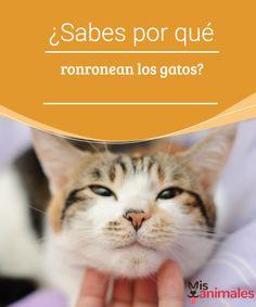 ¿Sabes por qué ronronean los gatos? -Mejor con Mascotas Seguramente alguna vez has disfrutado de ese cálido sonido que producen nuestros amigos felinos, pero... ¿sabes por qué ronronean los gatos? #expresión #comportamiento #curiosidades #felinos