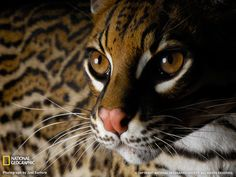 A rare wild Ocelot. According to one source, only one other Ocelot sighting has been reported since the 1960's.