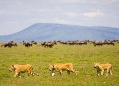 Serengeti, Tanzania. Queens of the jungle