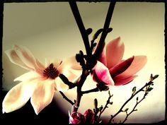 Sinds kort heb ik, met veel dank aan mijn lieve moeder, een prachtig Magnolia struikje. En sinds ik het heb besef ik hoeveel van deze bomen er eigenlijk in het openbaar of in iemand zijn tuin te zien zijn. Prachtig zicht wanneer ze in bloei zijn! Daarnaast ruikt het nog eens heel lekker wanneer het in bloei is en is het een mooie toevoeging aan elk huis, binnen in een pot of buiten in de tuin.