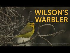 The small, sprightly Wilson's Warbler is seemingly always in motion, flicking its wings and waggling its tail up and down and in circles. Yellow Co, Environmental Issues, Pacific Coast, Life Cycles, Habitats, Wildlife, Bird, American, Circles