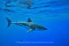 """Shark Diver : Shark Diving : Swimming With Sharks: """"Chugey"""" is back at Guadalupe"""