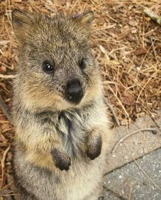 """599 Likes, 9 Comments - Zoos South Australia (@zoossa) on Instagram: """"What a sweet face! Come and say hello to Poppy the Quokka and her friends soon  Thanks to keeper…"""""""