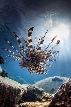♀ Underwater photography animals kingdom - majestic prowling lion fish