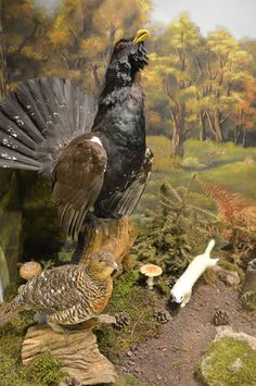 Western Capercaillie - Natural History Museum of Meteora & Mushroom Museum Natural History Museum, Plant Species, Central Asia, Bald Eagle, Westerns, Nature, Animals, Naturaleza, Animales