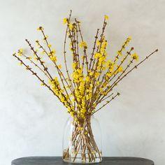 Flowering Forsythia Branches. #terrainflowermarket