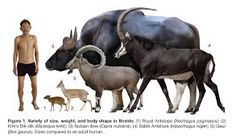 Image result for bison size compared to human