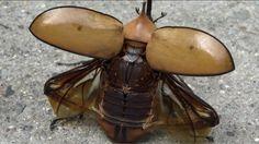 escarabajo rinoceronte antes de volar