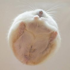 But have you seen the bottom view of a hamster? But have you seen the bottom view of a hamster? Cute Little Animals, Cute Little Things, Cute Funny Animals, Funny Cute, Cute Dogs, Nature Animals, Animals And Pets, Funny Hamsters, Ferrets