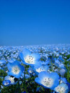 champs de fleurs bleues