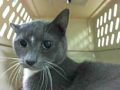 +++ SUPER #URGENT +++ #wlf #SHARE ~ TO BE DESTROYED 4/17/2015 #NYC #Brooklyn Center ~ PLS #ADOPT #FOSTER immediately! ~ My name is KIKI. My Animal ID # is A1032524. – P I am a neutered male gray and white domestic sh mix. The shelter thinks I am about 16 YEARS old. I came in the shelter as a OWNER SUR on 04/07/2015 from NY 11434, owner surrender reason stated was MOVE2PRIVA. I came in with Group/Litter #K15-009331.