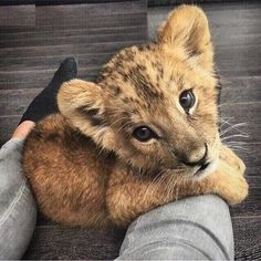 Baby lion i really want to have one 🙊 Cute Baby Animals, Animals And Pets, Funny Animals, Photo Chat, Cute Creatures, Stuffed Animals, Animal Photography, Animals Beautiful, Animal Pictures