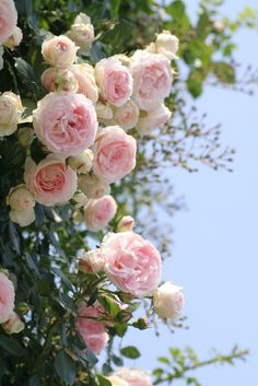 scent of pink roses on a summer day - happiness