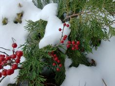 Powell Gardens MO holly berries in Winter photo by Marti Schuller Powell Gardens, Holly Berries, Botanical Gardens, Kansas City, Christmas Wreaths, Give It To Me, Snow, Holiday Decor, Winter
