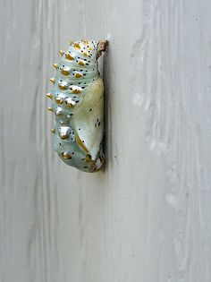I think that this has to be among the most beautiful of chrysalises. Butterfly Pupa, Butterfly Cocoon, Butterfly Chrysalis, Beautiful Bugs, Beautiful Butterflies, Amazing Nature, Cool Insects, Bugs And Insects, Moth Caterpillar