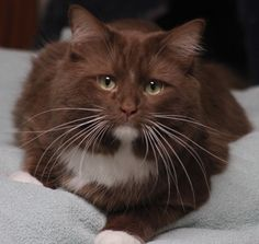 Loos like a chocolate cat - Beautiful! Cute Kittens, Cats And Kittens, Ragdoll Kittens, Tabby Cats, Bengal Cats, Pretty Cats, Beautiful Cats, Pretty Kitty, Crazy Cat Lady