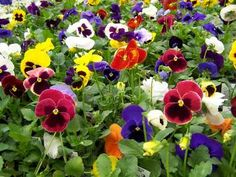 "What garden wouldn't be complete without the reliable pansies?  I love their little ""faces"".  I even have wild violas the bloomed all winter"