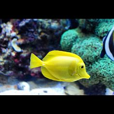 A yellow fish swimming about in the Pacific Ocean