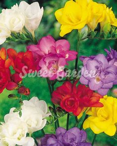 Freesia Corms - Double Mix - - Flower Bulbs D to F - Flower Bulbs - Flowers - Garden - Dobies Garden Bulbs, Planting Bulbs, Garden Plants, Planting Flowers, Perennial Flowering Plants, Herbaceous Perennials, Sutton Seeds, Bulb Flowers, Summer Flowers